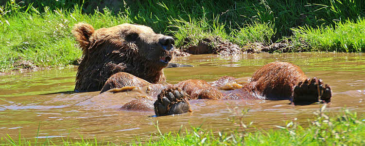 Bear in mud